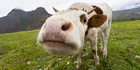 bigstock-Curious-Cow-42526807-e1424734273202